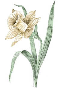Daffodil-Vintage-GraphicsFairy copy